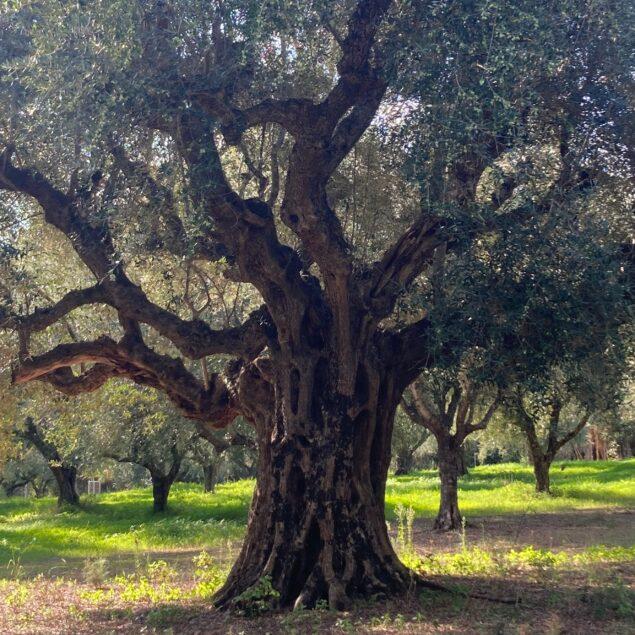 Athena und der Olivenzweig